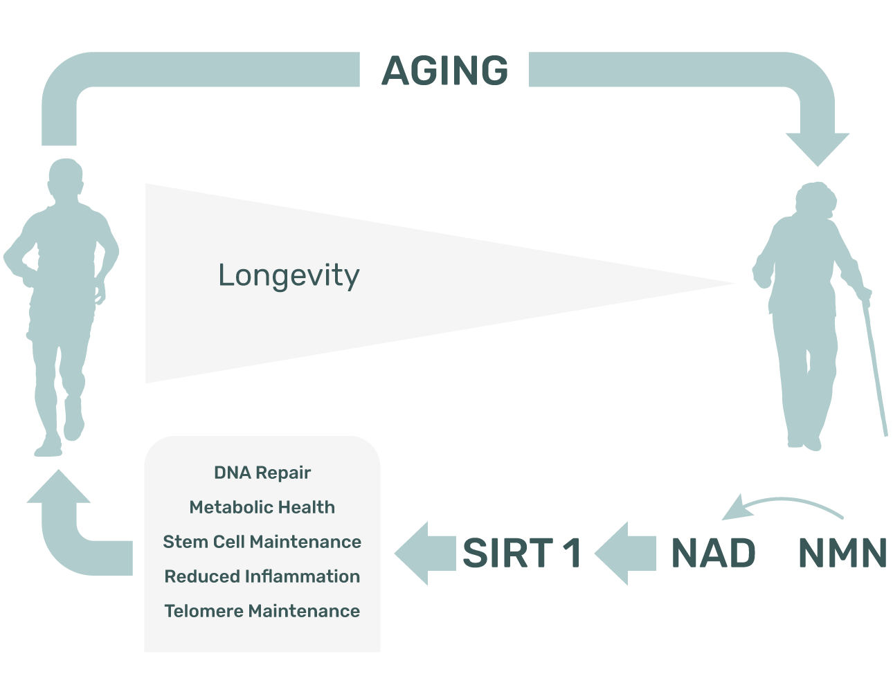 supplementation with NMN can increase lifespan, decrease and age-related frailty
