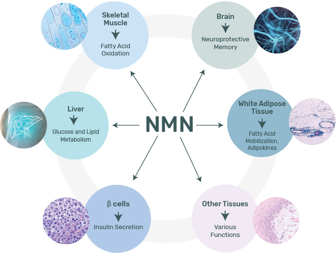 NAD+ decreases with age and this decrease is involved in age-related pathology and various diseases.